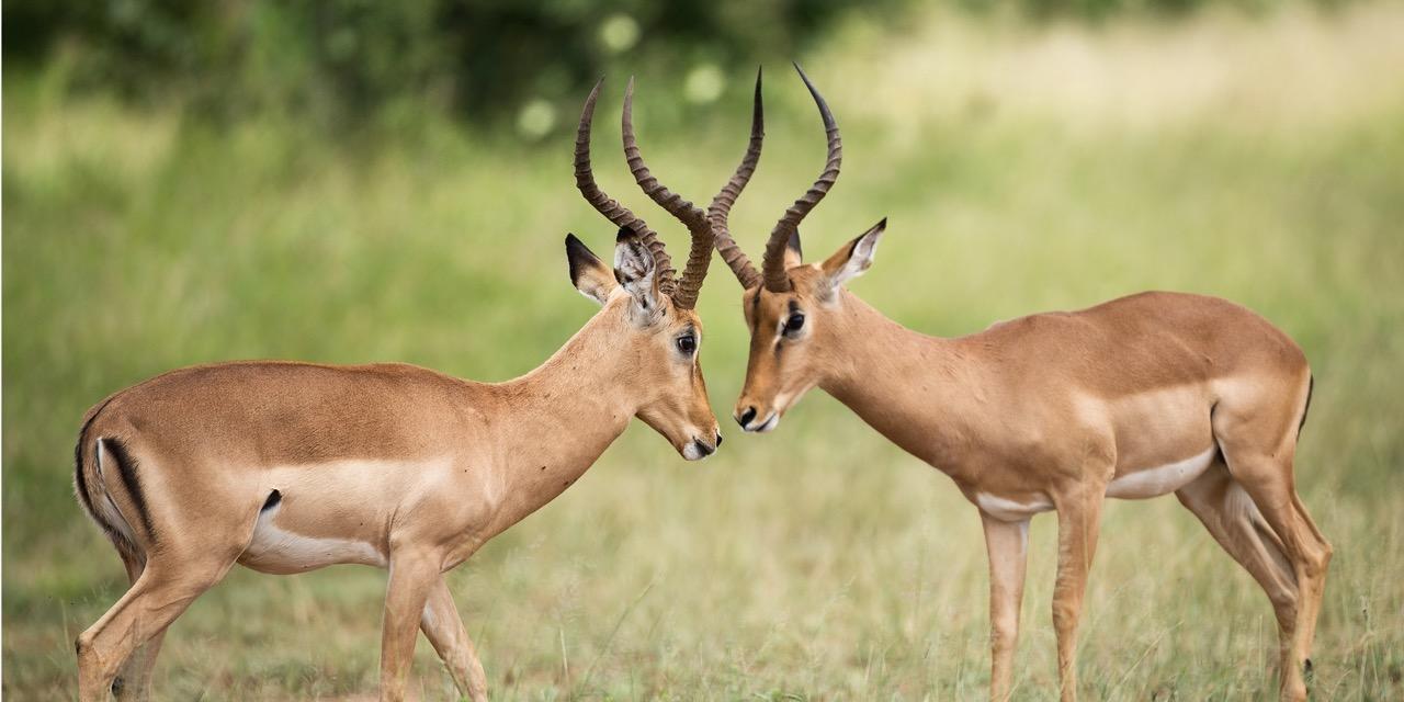 Two animals face off against one another in a grassy field showing off their antlers.